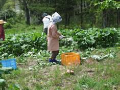ふきの収穫の様子